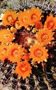 Cactus Barrel Cactus Flowers