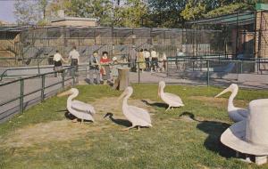 Snow White Pelicans, Calgary's White Hat, Calgary Zoo, St. George's Island, C...