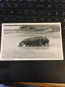 Vintage Postcard; East African game, Hippos