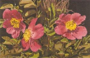 Flowers. Rose Alpine  Nice vintqage Swiss postcard