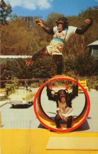 Miami Florida 1957 Postcard Monkey Jungle Performing Chimpanzee Stars