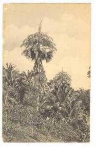 Talipot Palms in Full Flower,Colombo,Ceylon,00-10s