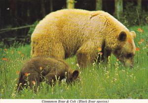Canada Cinnamon Bear and Cub