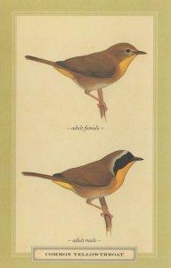 Common Yellowthroat Adult Male Female Stunning Bird Postcard