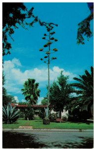 Postcard - Blooming Stalk Of Magay Cactus or Century Plant, Mcallen, Texas