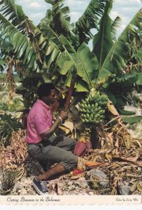 Cutting Bananas For The Market, Bahamas, Antilles, PU-1979
