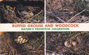 Birds Ruffed Grouse and Woodcock