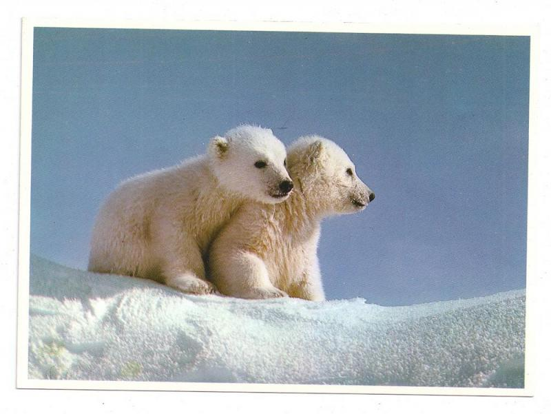 Alaska Polar Bear Cubs Postcard