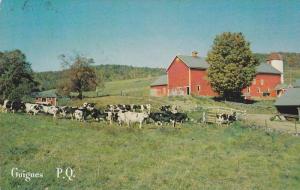 Cows,  Guigues,  Quebec,  Canada,  PU_1989