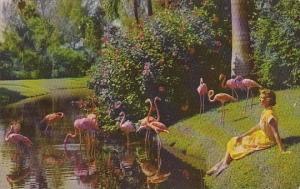 Florida Sarasota Flamingos At Sarasota Jungle Gardens