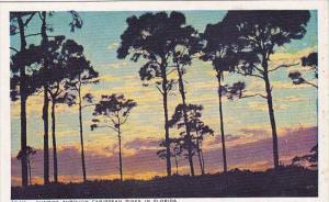 Sunrise Through Caribbean Pine Trees In Florida