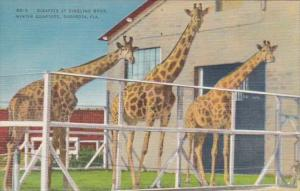 Florida Sarasota Giraffes At Ringling Brothers Winter Quarters 1948