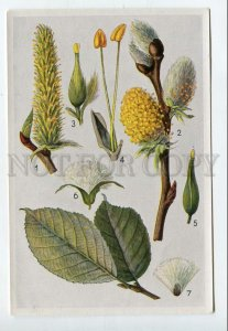 428061 Flower Salix caprea Vintage Sammelwerk Tobacco Card w/ ADVERTISING