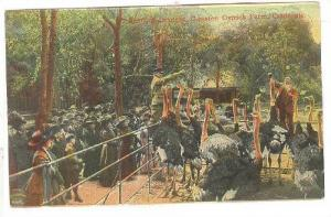 Crowd watching trainer feeding oranges to ostrichs, Cawston Ostrich Farm, Cal...
