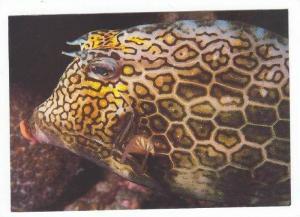 St Maarten, Phillipsburg, N.A. 50-70s Honeycomb Cowfish