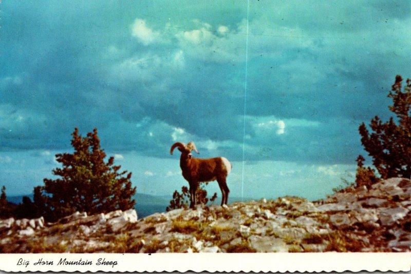 New Mexico Sandia Mountains Big Horn Mountain Sheep