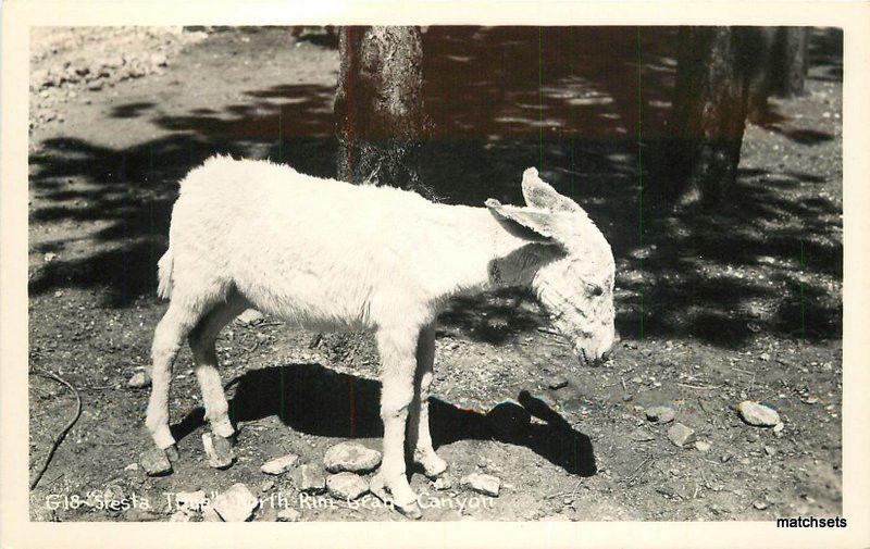 1940s Siesta Time North Rim Grand Canyon AZ Little Burro RPPC real photo 5351