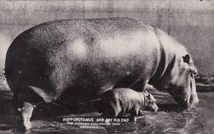 Illinois Chicago Zoological Park At Brookfield Hippopotamus and Day Old Calf ...