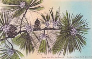 North Carolina Southern Pines Long Leaf Pine In Blossom Handcolored Albertype