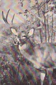 Virginia Deer American Museum Of Natural History New York City