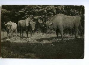 189089 RUSSIA HUNTING Bison vintage photo postcard
