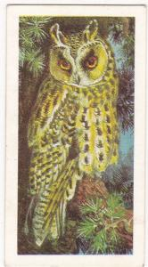 Trade Card Brooke Bond Tea Wild Birds in Britain 34 Long-Eared Owl
