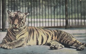 Tiger in Cage , 00-10s ; London Zoo