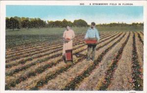 Florida Couple In A Strawberry Field Curteich
