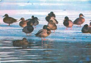 Oiseaux birds topic postcard mallard wild duck ( Anas platyrhynchos )