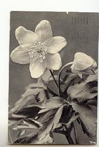 Poyy, B&W Closeup Blossom, Bushwindroschen, German Pub.