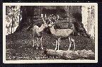 Twin Bucks,Sequoia National Park,CA