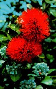Hawaii Big Island Flowers Scarlet Ohia Lehua