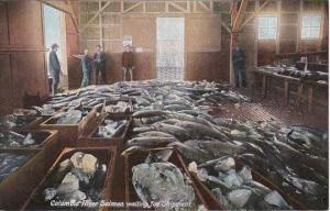 Columbia River Salmon Waiting For Shipment
