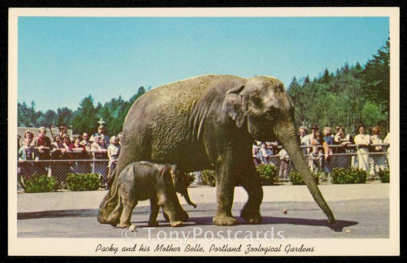 Packy and his Mother Belle, Portland Zoological Gardens