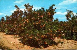 Florida Typical Orange Groves In  Central Florida