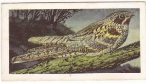 Trade Card Brooke Bond Tea Wild Birds in Britain 19 Nightjar