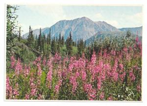Alaska Fireweed Postcard Alaska Imp Prints 4 X 6