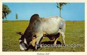 Brahman Bull Florida Pastures, USA Postcard Post Card Florida Pastures, USA B...