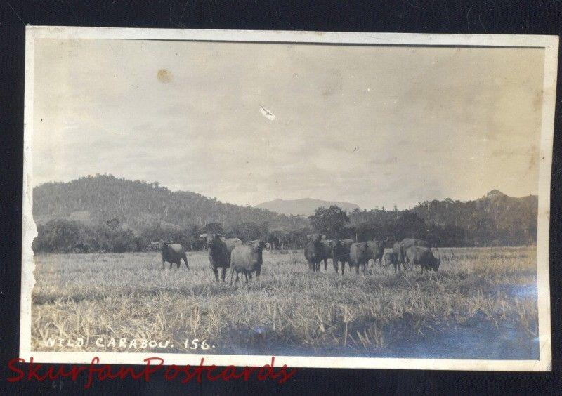 THE PHILIPPINES PHILIPPINE ISLANDS WILD CARABOU VINTAGE REAL PHOTO POSTCARD RPPC