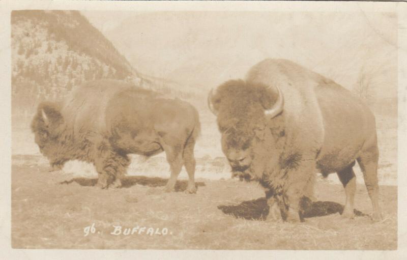 RP: BANFF , Alberta , 20-30s ; Buffalo ; Byron Harmen Photo 96