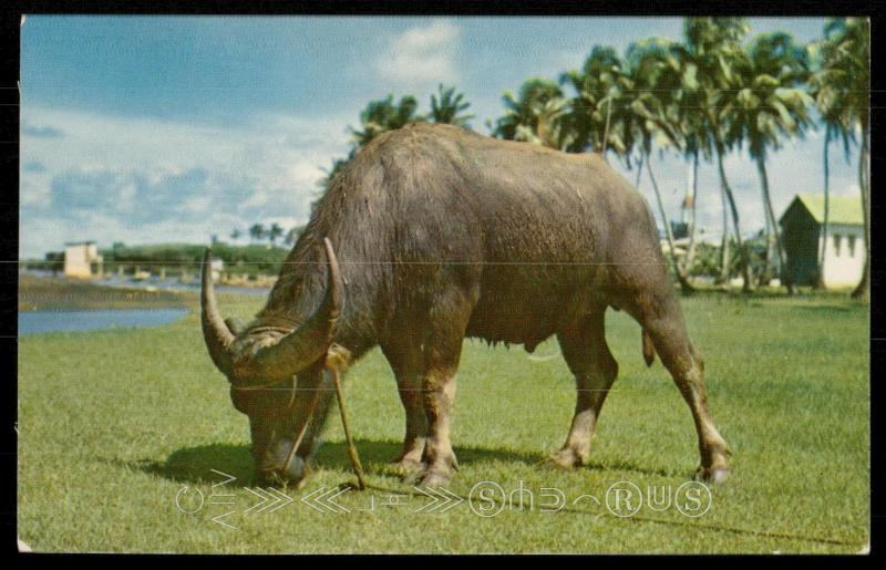 Crabao (Water Buffalo)
