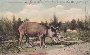 Florida Razor Back, FLORIDA, 1900-1910s