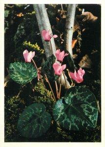 Postcard Flower Primulaceae cyclamen europaenum sowbread