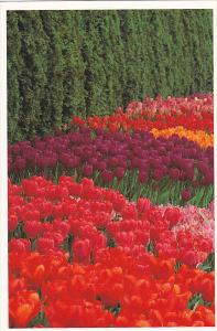 Tulips At Roozengaarde Division Of Washington Bulb Company Mount Vernon Washi...