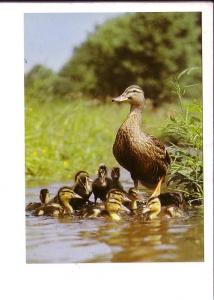 Mallard Duck and Ducklings, North American Wildlife