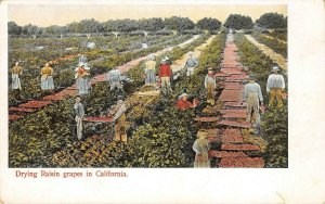 Drying Raisin Grapes in California Vineyards Agriculture c1900s Vintage Postcard