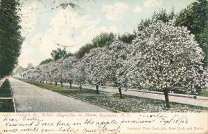 Oxford Street - Rochester NY New York - White Magnolias in Bloom - pm 1906 - UDB