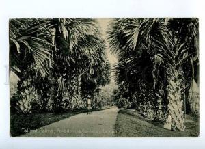 190889 CEYLON Peradeniya Gardens Taliport Palms Vintage RPPC