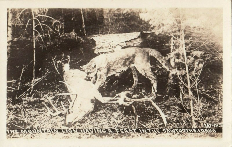 RP: SAWTOOTHS , Idaho , 1920-30s ; Mountain Lion having a feast