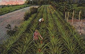 Cuba Campo De Pinas Pineapple Field